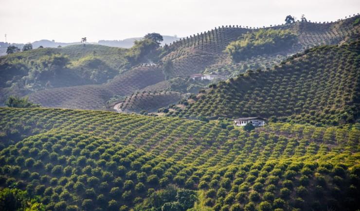 columbian coffee field